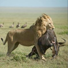 This lion carried its wildebeest kill quite a distance to share with his brother. ((Ana Leuzinger)