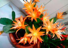Orange Rhipsalidopsis