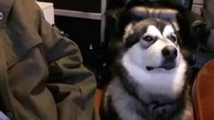 Alaskan Malamute Loves to TalkBack Cute Animal Videos, Alaskan Malamute, Cute Dogs, Husky, Cute Animals, Meal Ideas, Posts, News, Youtube