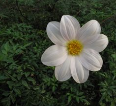 Dahlia dissecta is a stunning species Dahlia with delicate white to soft pink flowers and beautiful finely divided  green foliage. Flowers throughout Summer and Autumn and grows to 50cm. A great specimen for the perennial border!  From Dr Keith Hammett