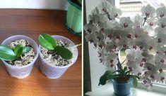 Video - Cum sa ingrijesti orhideea pentru o inflorire bogata - BZI. Planter Pots, 3 Ingredients