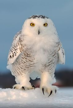 Birds of Prey - Snowy owl