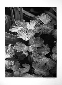 "Saatchi Art Artist Dietrich Moravec; Drawing, ""Aquilegia Leaves"" #art"