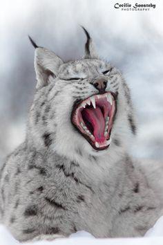 Кисточек на ушах пост. фотография, рысь, каракал, большие кошки, Животные, Природа, длиннопост