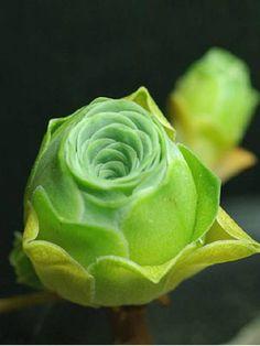 Aeonium dodrantale (Greenovia dodrantalis) → Plant characteristics and more photos at: http://www.worldofsucculents.com/?p=5266