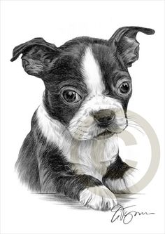 Pencil Portraits - Dog Boston Terrier Puppy by GaryTymonArtwork - Discover The Secrets Of Drawing Realistic Pencil Portraits.Let Me Show You How You Too Can Draw Realistic Pencil Portraits With My Truly Step-by-Step Guide. Boston Terrier Kunst, Boston Terrier Love, Boston Terriers, Animal Drawings, Pencil Drawings, Dog Drawings, Pencil Art, Watercolor Canvas, Realistic Drawings
