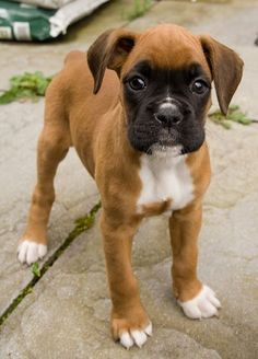 Very cute little Boxer! One of my favorite dogs!