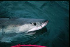 Surfacing Great White Shark Picture