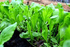 Rocket/ruccola for sandwihes. Hot bed, Sweden in March. http://www.skillnadenstradgard.blogspot.se/2015/01/smorgasgronsaker-att-odla-i-var.html #garden #gardening #vegetables #trädgård #odla #grönsaker