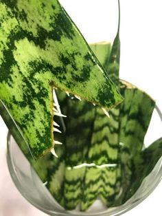 How to Propagate Snake Plant, or Sansevieria, in Water