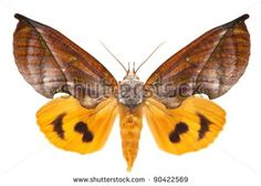 The Noctuidae moth Eudocima aurantia (Moore, 1877). This is one of the largest among South-Asian Noctuidae moths. Isolated on white - stock photo