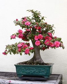 A beautiful bonsai specimen of Camellia japonica [Family: Theaceae] Ikebana, Bonsai Garden, Garden Plants, House Plants, Plantas Bonsai, Flowering Bonsai Tree, Bonsai Trees, Bonsai Pruning, Bougainvillea Bonsai