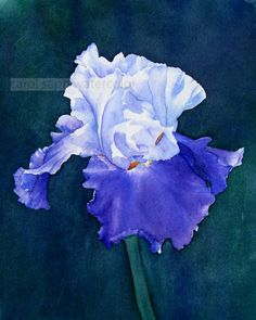 iris / watercolor by Carol Sapp