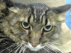 TO BE DESTROYED 12/15/13 Brooklyn Center   LOLIC.  ID # is A0986617. Neutered male brn tabby and white domestic mh mix. The shelter thinks I am about 6 YEARS old.  I came in the shelter as a STRAY on 12/04/2013 from NY 11235, owner surrender reason stated was OWNER DIED. LOLIC is a stunning, neutered, HEALTHY and SWEET boy that came in when his beloved guardian passed away https://www.facebook.com/photo.php?fbid=715402858471549&set=a.576546742357162.1073741827.155925874419253&type=3&theater