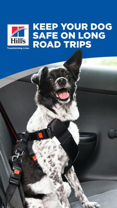 Whether you're going on an extended road trip or for a short drive, car travel with a dog can be a lot of fun. However, traveling with dogs in a car can pose a lot of safety risks. Read on for tips on how to safely transport him and minimize the dangers inherent when riding in the car with your dog. Dog Travel, Travel Tips, Dog Care, Boston Terrier, Your Dog, Transportation, Pup, Safety, Road Trip