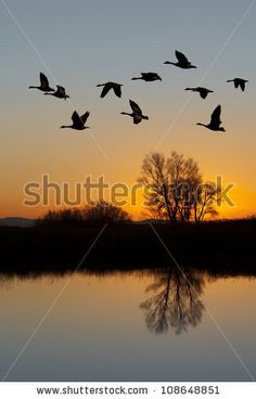 Silhouetted Canadian Geese flying at sundown over quiet Winter pond on wildlife refuge San Joaquin Valley California Poster Goose Drawing, Fly Drawing, San Joaquin Valley, Silhouette Painting, Craft Night, Pond, Photo Editing, Wildlife