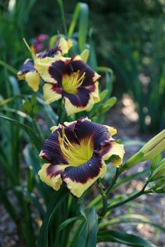 later blooming daylily