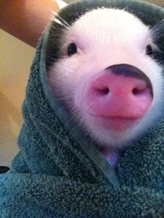 Everyone deserves to see a sweet little pig all wrapped up in a blanket at least *once* in their lives.