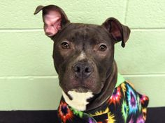 Manhattan Center   KHAN - A0995938   MALE, BLACK / WHITE, PIT BULL MIX, 1 yr STRAY - STRAY WAIT, NO HOLD Reason STRAY  Intake condition NONE Intake Date 04/07/2014, From NY 10031, DueOut Date 04/10/2014, Medical Behavior Evaluation GREEN https://www.facebook.com/photo.php?fbid=785453878134160&set=a.617938651552351.1073741868.152876678058553&type=3&theater