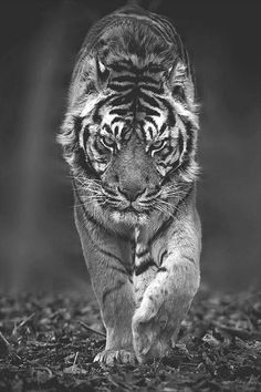 Tiger  #wildlife in black and white #bw