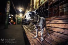 The Urban Chihuahua by Kaylee Greer on 500px