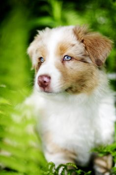 I want an Australian Shephard one day along with my other 4 dogs and a cat and a pig C:.