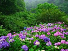 Flowers have spoken to me more than I can tell in written words. They are the hieroglyphics of angels, loved by all men for the beauty of their character, though few can decipher even fragments of their meaning. ,,Hydrangea