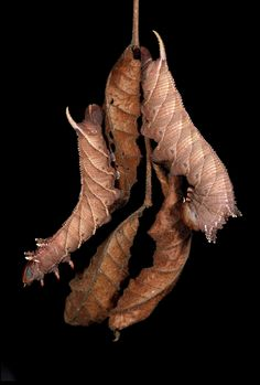 Four Horned Sphinx –Ceratomia amyntor — on dead elm leaves, Harvard, Mass. (Courtesy Sam Jaffe)