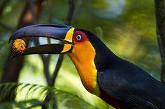 Foto tucano-de-bico-preto (Ramphastos vitellinus) por Marcos Paiva | Wiki Aves - A Enciclopédia das Aves do Brasil