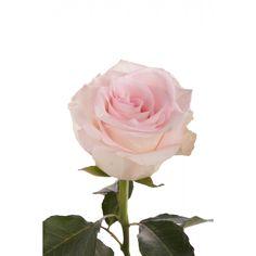 Beautiful Blush Pink Rose
