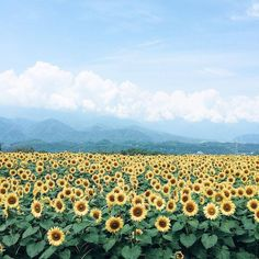 Today's takeover is by #Tokyo photographer Mao Kokubu (@mao_kokubu) whose work exists somewhere at the borderland between reality and make-believe. In summer the landscape is covered by a dazzling array of sunflower fields and more than 100000 sunflowers bloom as part of the Kiyose Sunflower Festival alone. // #fineartphotography #contemporaryphotography #artphotography #landscape #landscapephotography