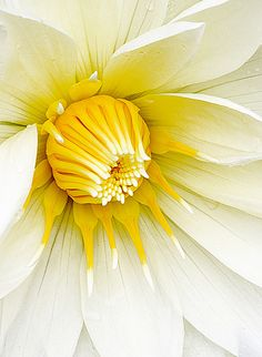 Pretty White & Yellow Dahlia