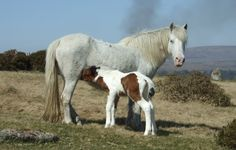 From Em Parkinson's blog 'Dartmoor Ramblings' ~ A Dartmoor pony mare and her new foal (around 3 days old)  Photo ~ http://dartmoorramblings.blogspot.co.uk/2012/03/first-foal-adder-and-pair-of-nuthatches.html