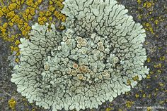 Zuzmók - lichens - Flechten | Buday Ádám fotóblogja