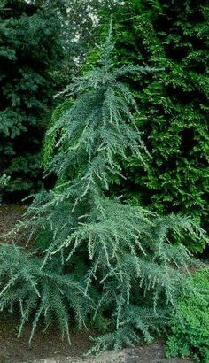 ft x 4 Cedrus deodara 'Karl Fuchs'. Partial to full sun. Grows ft tall and 4 ft wide in 10 yrs. Evergreen Landscape, Evergreen Garden, Evergreen Shrubs, Trees And Shrubs, Trees To Plant, Types Of Evergreen Trees, Dwarf Trees, Garden Shrubs, Garden Trees