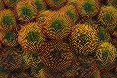 Cone flowers by Dragan