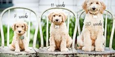 Cute progressive puppy photoshoot idea for the 1st year of dog's life. {Pet Photography} {Dog} {Puppy Photo Session Idea}