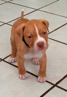 Baby Xavi .. #pit bull puppy