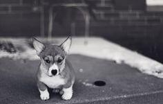 i want a corgi puppy!