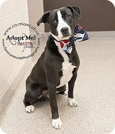 URGENT!  I am at a kill shelter in Troy, OH - Pit Bull Terrier Mix. Meet Cody a Dog for Adoption.