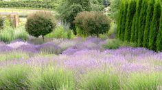 Lavender farm in Okanagan, BC
