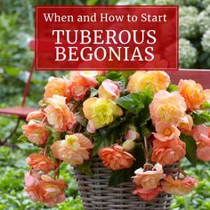 Tuberous Begonias: How and When to Start Them Indoors - Longfield Gardens Container Gardening Vegetables, Succulents In Containers, Container Flowers, Container Plants, Vegetable Gardening, Gardening Tips, Fall Planters, Flower Planters, Garden Planters