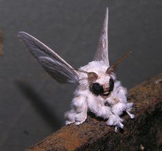 Poodle moth (Artace sp, perhaps A. cribaria), Venezuela