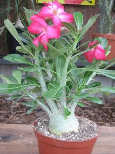 Adenium obesum (Desert Rose, Mock Azalea, Impala Lily) → Plant characteristics and more photos at: http://www.worldofsucculents.com/?p=941