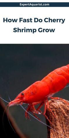 Freshwater Aquarium, Aquarium Fish, Fish Aquariums, Red Cherry Shrimp, Aquarium Maintenance, Shrimp Tank, Fish Care, Saltwater Tank, Aquatic Plants