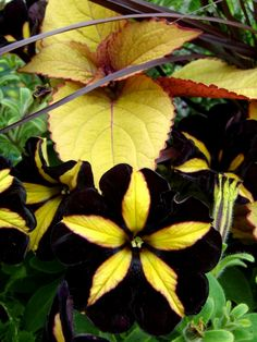 Good ideas for a black and yellow themed container garden~~~