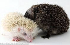 Their hedgehog parents disapprove because (whispers) HE'S BLACK. But we don't care.