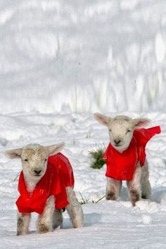 Holiday+Lambs.jpg 333×500 pixels