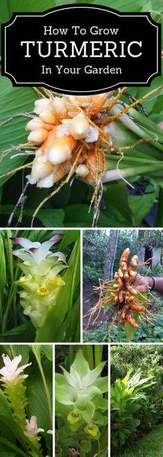 How to grow turmeric in the garden #OrganicGardening #Howtogrowvegetablesinyourowngarden #gardenideas