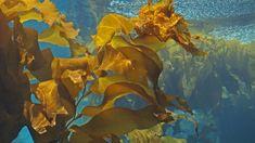 Nova Scotia's kelp forests threatened due to warming ocean - Nova Scotia - CBC News